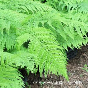 リョウメンシダ 10.5cmポット苗28ポット1ケース 山野草|shioukan-hanaya