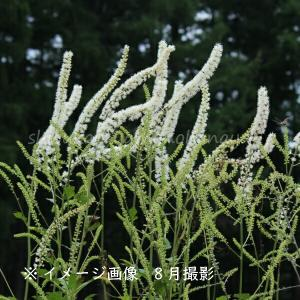 サラシナショウマ 10.5cmポット苗 山野草 |shioukan-hanaya