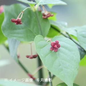 サワダツ 13.5cmポット苗 shioukan-hanaya