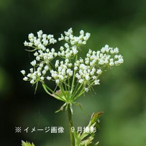 センキュウ 10.5cmポット苗 山菜苗|shioukan-hanaya