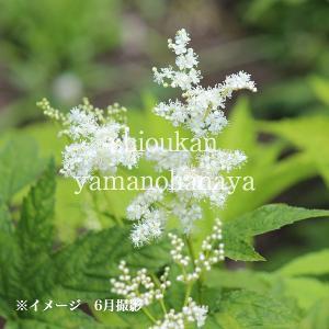 キョウカノコ 白花 15cmポット大株苗 山野草 |shioukan-hanaya