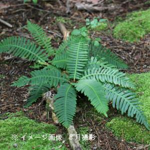 シシガシラ 10.5cmポット苗100ポットセット 山野草