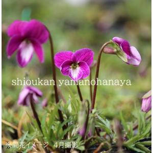 商品名:スミレ'紅鶴'(ベにつる)<br> 学名:Viola chaerophylloi...