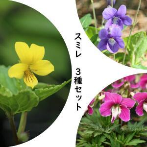 ポットサイズ:9cmポット苗〜10.5cmポット苗を2ポットずつ ※それぞれの栽培説明書をつけてお届...