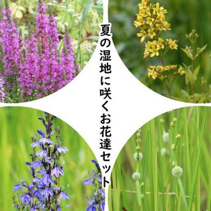 山野草セット:夏の湿地に咲くお花達 4種各2ポットセット【ミソハギ・クサレダマ・サワギキョウ・タマミクリ】|shioukan-hanaya