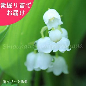 商品名:日本スズラン(にほんすずらん) 和名:鈴蘭 学名:Convallaria majalis 別...