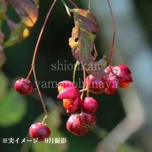 ツリバナマユミ 10.5cmポット苗28ポット1ケース shioukan-hanaya