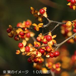 ツルウメモドキ 10.5cmポット 雌木苗28ポット1ケース shioukan-hanaya