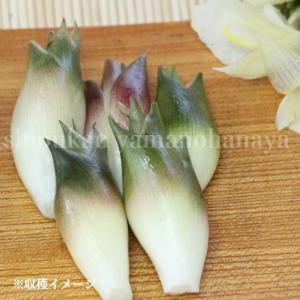 ミョウガ 早生 9cmポット仮植え苗2ポットセット 山菜苗|shioukan-hanaya