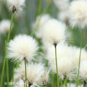 ワタスゲ 10.5cmポット苗100ポットセット ※5/17開花中(綿毛の状態)