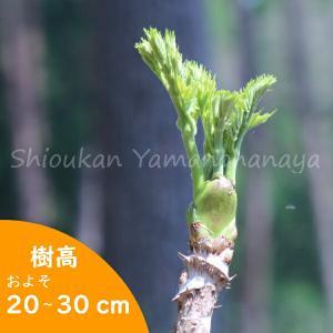 タラの木 10.5cmポット仮植え苗5ポットセット|shioukan-hanaya