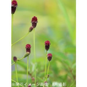 ワレモコウ タンナ 9cmポット苗5ポットセット |shioukan-hanaya