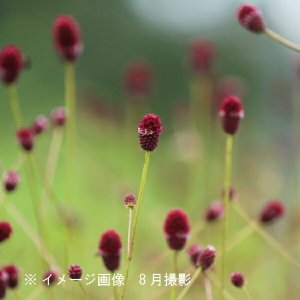 ワレモコウ 姫 9cmポット苗5ポットセット ※今季開花終了|shioukan-hanaya