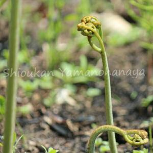 ワラビ 10.5cmポット仮植え苗5ポットセット|shioukan-hanaya