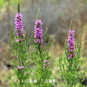 エゾミソハギ 9cmポット苗5ポットセット ※今季開花終了|shioukan-hanaya