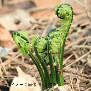 コゴミ 10.5cmポット仮植え苗5ポットセット|shioukan-hanaya