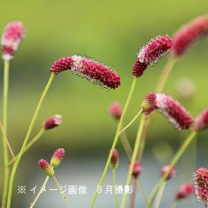 ワレモコウ 濃色長穂赤花 10.5cmポット苗5ポットセット ※今季開花終了|shioukan-hanaya