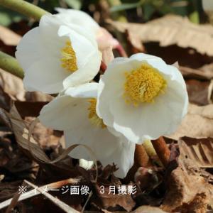 クリスマスローズ ニゲル 10.5cmポット仮植え苗 山野草 |shioukan-hanaya