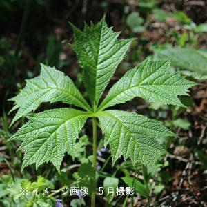 ヤグルマソウ 12cmポット苗 山野草|shioukan-hanaya