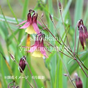 山オダマキ 9cmポット苗 山野草 |shioukan-hanaya