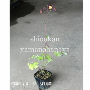 山オダマキ 9cmポット苗 山野草 |shioukan-hanaya|04