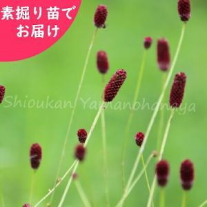純ワレモコウ 20株 山野草|shioukan-hanaya