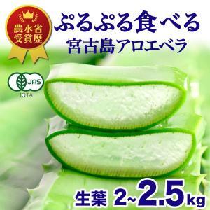 【食用】アロエベラ 大きな生葉 3kg 沖縄 宮古島産 アロエ ヨーグルト 食物繊維 殺菌 便秘解消 敏感肌 ダイエット デトックス 抗酸化 日焼け対策|shirounouen