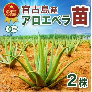 沖縄 宮古島産 アロエベラ アロエ 苗 3株|shirounouen