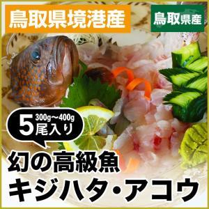 数量限定 幻の 高級魚 キジハタ 5尾 魚 お魚 さかな 鮮魚 刺身 煮つけ 煮付け 煮付 につけ アコウ アコウダイ あら汁 に  バーベキュー  キャンプ|shop-daisenbou