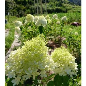 ○苗は、4号(12cm)のポット苗です。30〜50cmの苗をお届けします。(春は、新芽が出た状態のも...