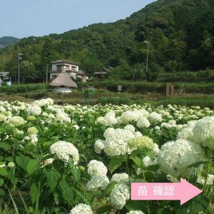 ○苗は、3号(9cm)のポット苗です。20〜40cmの苗をお届けします。(春は、新芽が出た状態のもの...