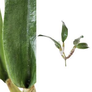 PLANT カトレア/グリーン|shopv