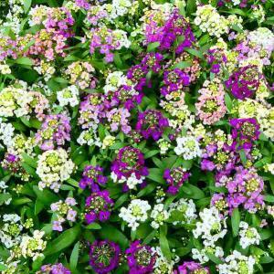 スイートアリッサム 多色寄せ植え 苗 3.5号 花壇苗