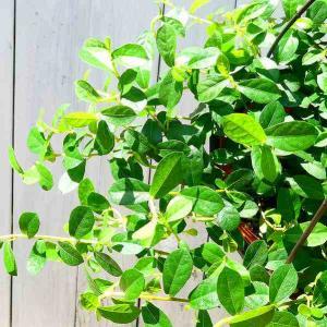 ガジュマル ツル性 シャングリラ フィカス 珍しい 観葉植物 苗 3号ポット ミニ観葉