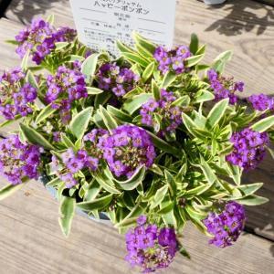 花苗 斑入りアリッサム 3号 ハッピーポンポン 紫小花 花壇苗 カラーリーフ