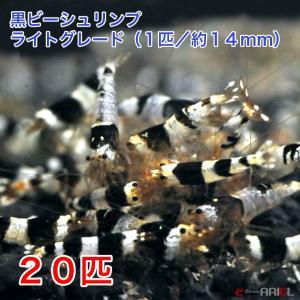 黒ビー ライトグレード(20匹/約14mm) 死着補償+2匹|shrimpariel