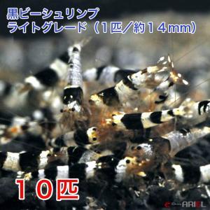 黒ビー ライトグレード(10匹/約14mm) 死着補償+2匹|shrimpariel