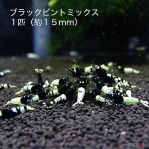 ブラックピントミックス 若親個体 1匹 (約15mm) shrimpariel