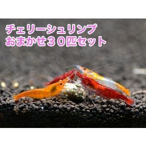チェリーシュリンプ おまかせ30匹セット 死着補償サービス+3匹|shrimpariel
