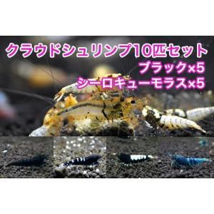 【クラウド10匹セット】クラウドブラック5匹+シーロキューモラス5匹 shrimpariel