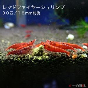 レッドファイヤーシュリンプ 30匹(1匹/18mm)死着補償サービス+3匹|shrimpariel