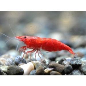 チェリーシュリンプ 極火蝦 5匹 死着補償サービス+1匹|shrimpariel