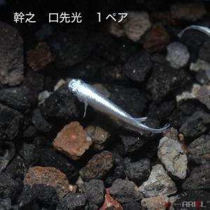 幹之 口先光 1ペア|shrimpariel