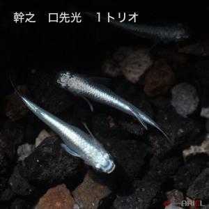 幹之 口先光 1トリオ|shrimpariel