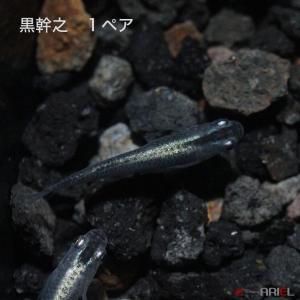 黒幹之 1ペア|shrimpariel