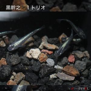 黒幹之 1トリオ|shrimpariel