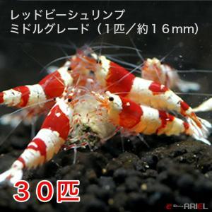 レッドビーシュリンプ ミドルグレード(30匹/16mm前後)死着補償サービス+3匹|shrimpariel