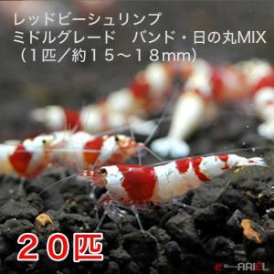 レッドビーシュリンプ ミドルグレード バンド・日の丸MIX(20匹/15〜18mm前後)死着補償サービス+2匹|shrimpariel
