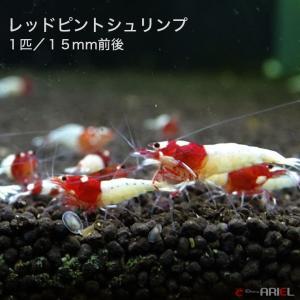 レッドピントシュリンプ 1匹 約1.5cm shrimpariel