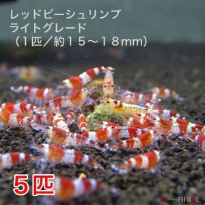 レッドビーシュリンプ ライトグレード(5匹/15〜18mm前後)死着補償サービス+1匹|shrimpariel